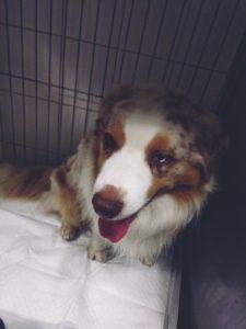 pies zarażony Babesia canis