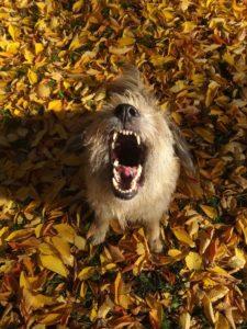 szczekający pies jesienią