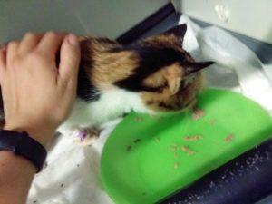 kot z zespoleniem wrotno-obocznym