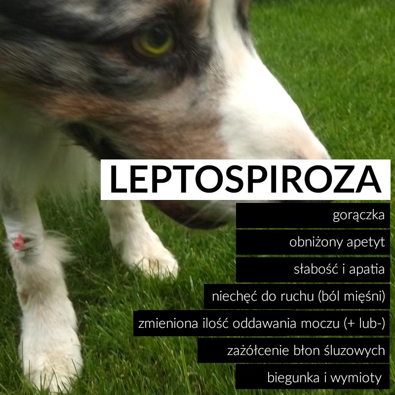 leptospiroza objawy
